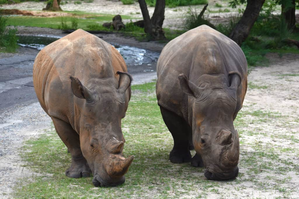A pair of Rhinos eating grass at Kilimanjaro Safaris at Disney's Animal Kingdom