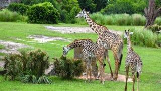 Giraffes – Disney Animals