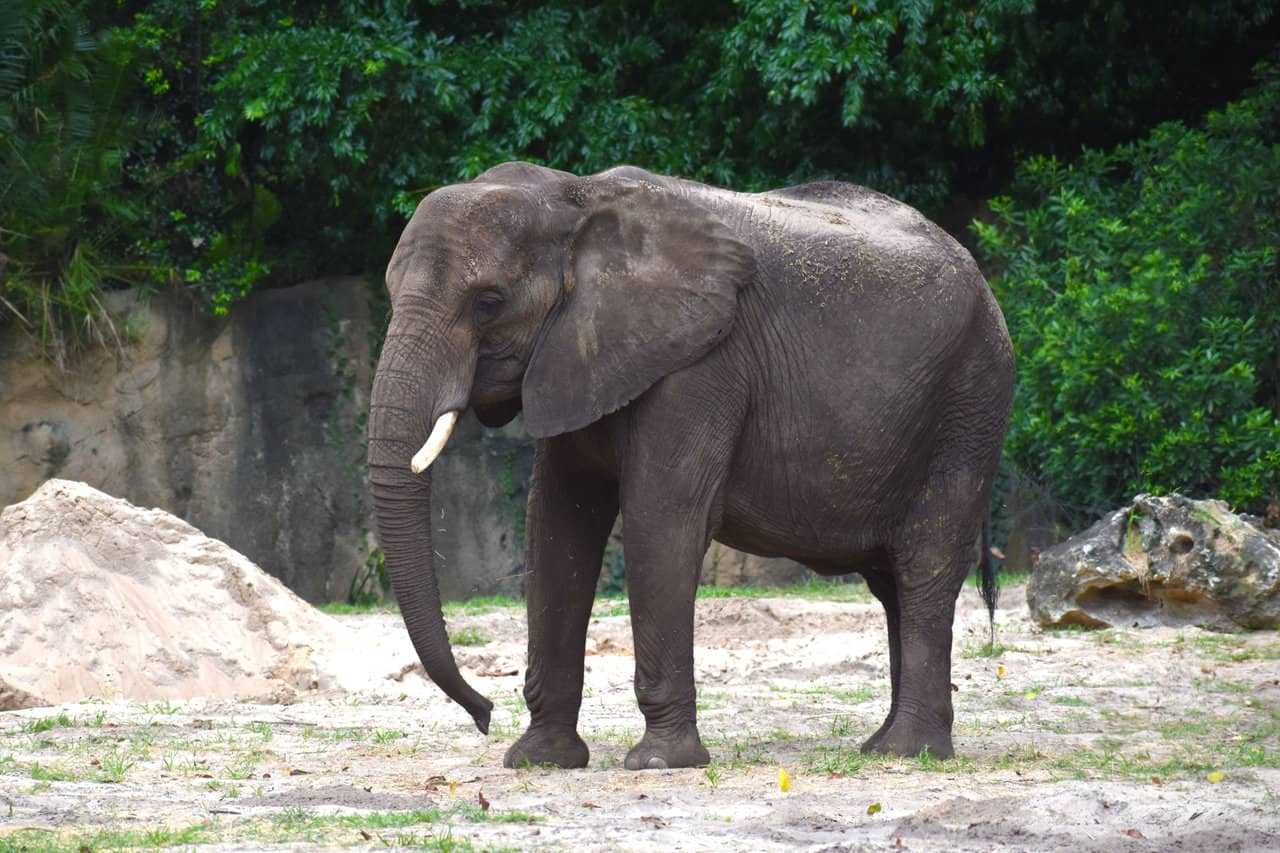 African Elephants – Disney Animals