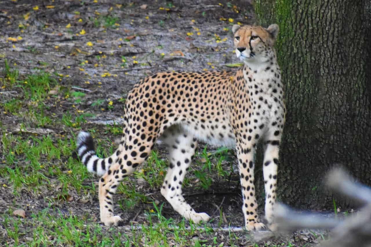 Cheetahs – Disney Animals
