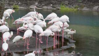 Flamingos – Disney Animals