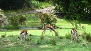 Gazelles – Disney Animals