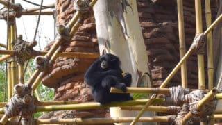 Gibbons – Disney Animals