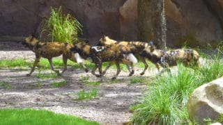 Hyenas – Disney Animals